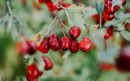 Dzika róża właściwości i zastosowanie. Poznaj zalety stosowania kosmetyków z zawierających ekstrakt z dzikiej róży